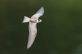 First winter Whiskered Tern at Sungei Serangoon. Photo Credit: Francis Yap