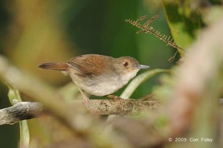 White-chested Babbler from Panti Bird Sanctuary. Photo credit: Con Foley