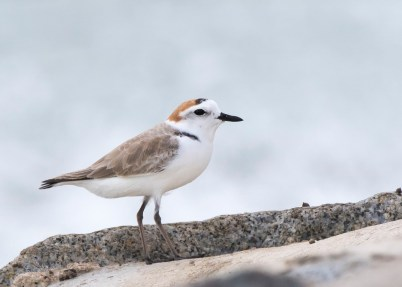 White-faced Plover, male, at Marina Barrage. Photo Credit: See Toh Yew Wai