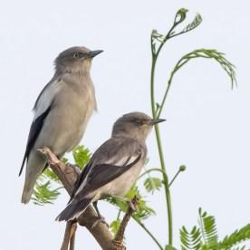 White-shouldered Starling at Punggol Barat. Photo credit: See Toh Yew Wai