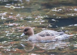 Eurasian Wigeon (female) at Tokyo Imperial Garden. Photo credit: See Toh Yew Wai