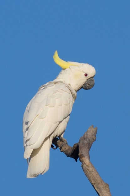 Yellow-crested Cockatoo at Mount Faber. Photo credit: Francis Yap