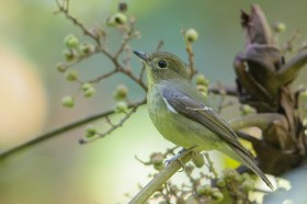 Green-backed Flycatcher at Dillenia Hut. Photo credit: Francis Yap