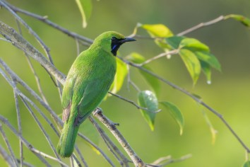 Lesser Green Leafbird at Jelutong Tower. Photo credit: Francis Yap