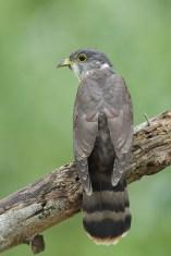 Malaysian Hawk-Cuckoo at Bidadari. Photo credit: Francis Yap