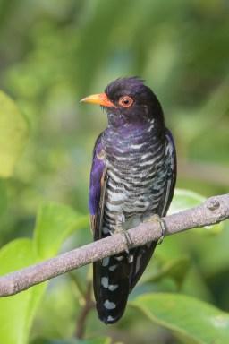 Violet Cuckoo at Jelutong Tower. Photo credit: Francis Yap