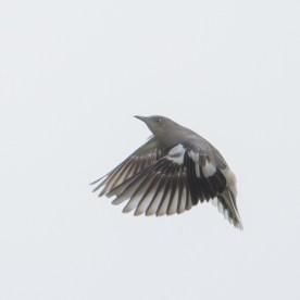 White-shouldered Starling at Seletar. Photo credit: Francis Yap