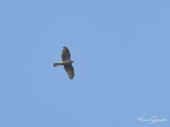 Eurasian Sparrowhawk in flight over Tampines Eco Green. Photo Credit: Feroz Fizah