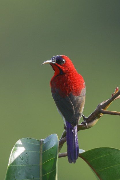 Crimson Sunbird at Jelutong Tower. Photo credit: Francis Yap
