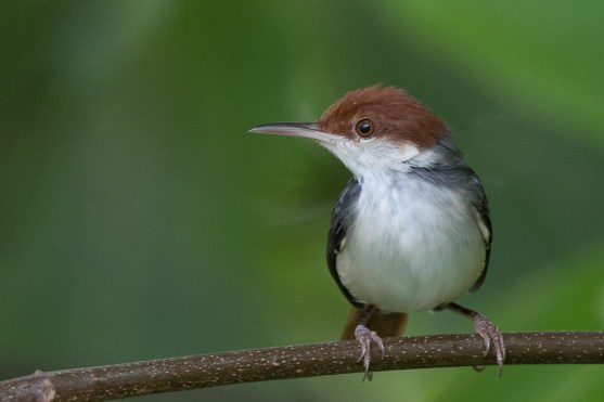 Rufous-tailed Tailorbird at Coney Island. Photo credit: Francis Yap