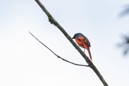 Male Scarlet Minivet at Panti Forest. Photo credit: Keita Sin