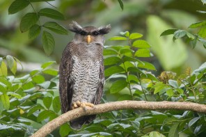 Barred Eagle-Owl at Singapore Quarry. Photo credit: Francis Yap
