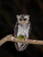 Juvenile Barred Eagle-Owl at Fuyong Estate