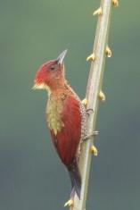 Banded Woodpecker at Jelutong Tower. Photo credit: Francis Yap