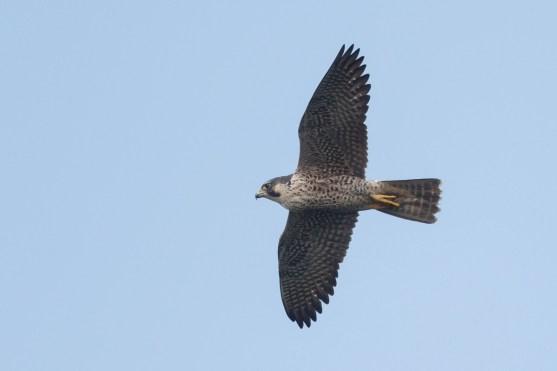 Peregrine Falcon at SBWR. Photo credit: Francis Yap