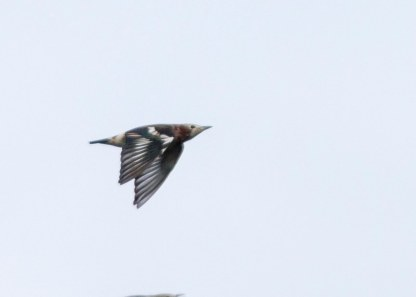 Male Chestnut-cheeked Starling in flight at Henderson Waves Bridge. Photo credit: See Toh Yew Wai