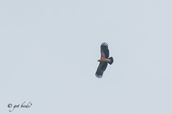Greater Spotted Eagle, fulvescens morph at Neo Tiew Harvest Link. Photo credit: Mohamad Zahidi Hamid