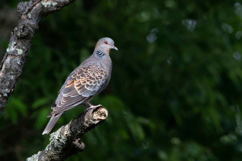 Oriental Turtle Dove at Tokyo, Japan. Photo credit: Keita Sin