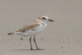 White-faced Plover at Changi Cove. Photo credit: Francis Yap