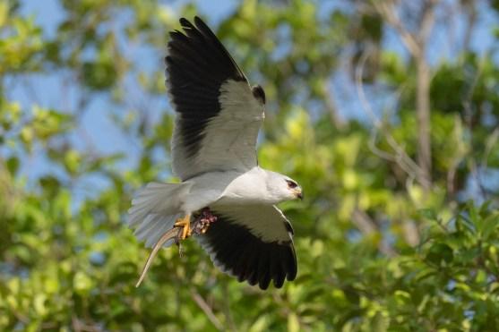 Black-winged Kite at Seletar Aerospace Drive. Photo credit: Francis Yap