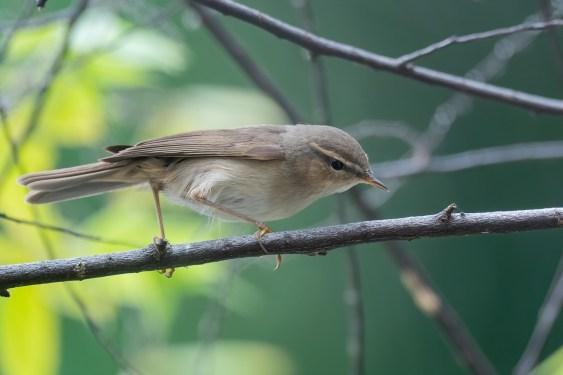 Dusky Warbler at Yishun Pond. Photo credit: Francis Yap