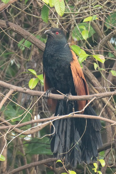 Greater Coucal at Hindhede Nature Park. Photo credit: Francis Yap