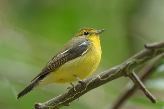 Male Green-backed Flycatcher at Rifle Range Link. Photo credit: Francis Yap