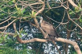 Himalayan Vulture at Hindhede Quarry. Photo credit: Francis Yap