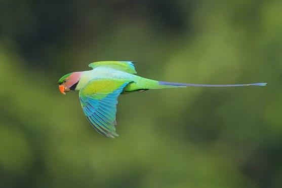 Long-tailed Parakeet at Jelutong Tower. Photo credit: Francis Yap