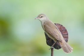 Oriental Reed Warbler at Satay by the Bay. Photo credit: Francis Yap