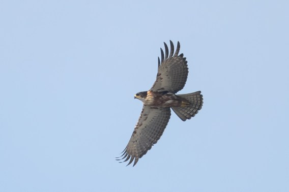 Rufous-bellied Eagle at Bukit Drive. Photo credit: Francis Yap