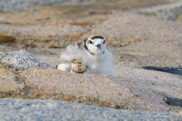 Male Malaysian Plover brooding chick. 27 June 2021