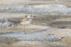 Malaysian Plover chick. 18 July 2021