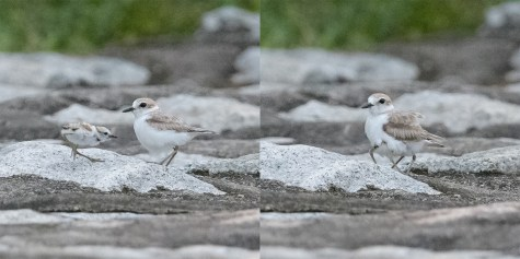 Female Malaysian Plover brooding chick. 11 July 2021