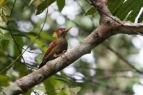 Crimson-winged Woodpecker at Johor. Photo credit: Keita Sin