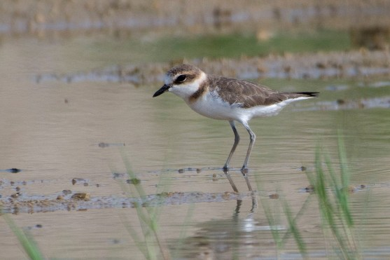 The first image of the Javan Plover taken in Singapore that was shared. Photo credit: Frankie Cheong