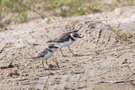 A pair of Javan Plovers, with the bird behind being slightly younger. Singapore. Photo credit: Frankie Cheong