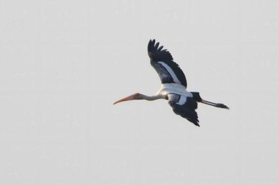 Painted Stork-3_200102_KeitaSin