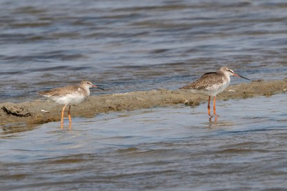Spotted Redshank (right) and Common Redshank (left) at Thailand. Photo credit: Keita Sin