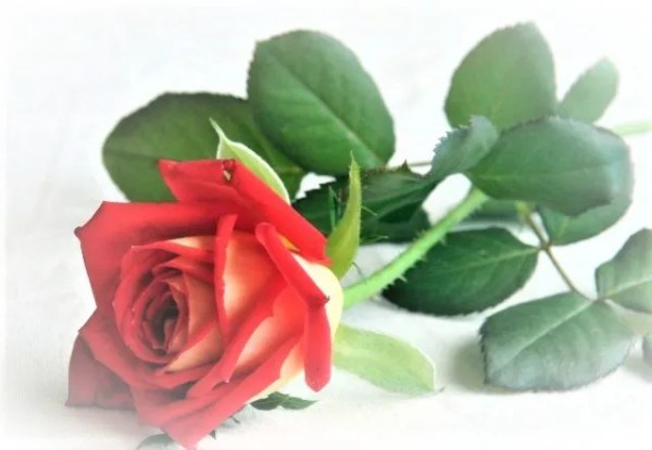 Sandalwood Rose Fragrance oil