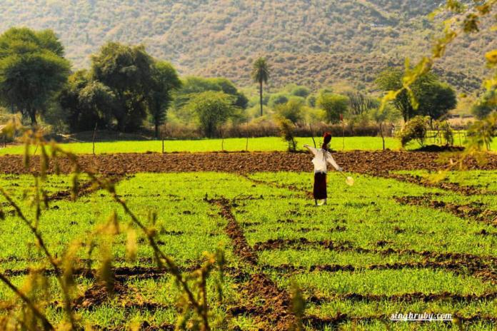 Lush Green fields and Scarecrow, enroute Bhangarh Fort