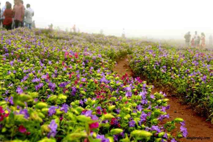 blue-blossoms-at-kaas-plateau