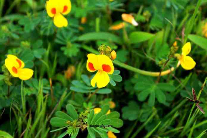yellow-love-at-kaas-plateau