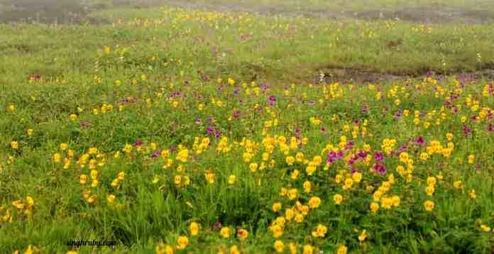 yellow-spread-at-kaas-plateau