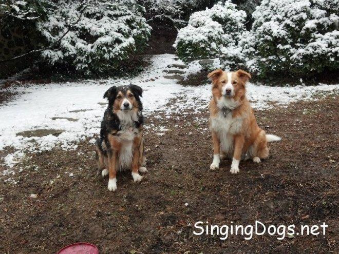 english shepherds snow