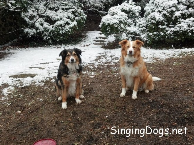 english shepherds snow