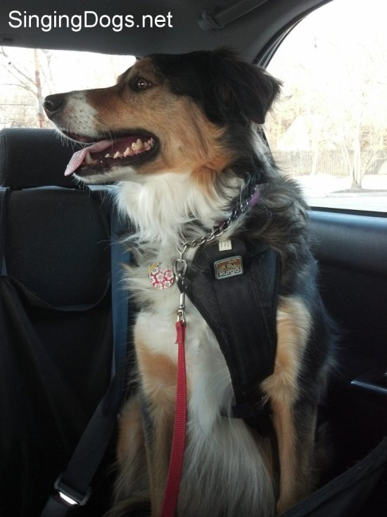 dog seatbelts