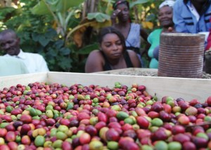 Buy Haitian coffee, chocolate, cacao, art, green, economy, online