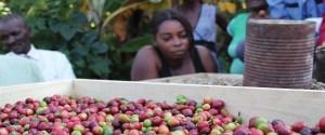 haiti coffee seedling nursery