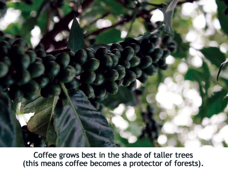 Coffee trees reforest Haiti, protect the forest